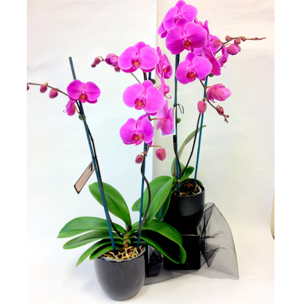 potted mauve orchid, potted, Plants, Mothers day, Get well, Anniversary