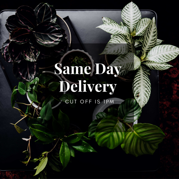 same day indoor plant delivery melbourne victoria