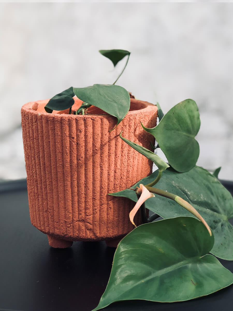 Pepperomia in a matte black or pastel pink pot