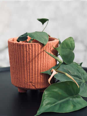 Peperomia in various pot colours