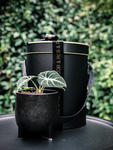 Raised Pot with Beautiful Plant Options - Indoor Plant & Gifts Delivery Australia