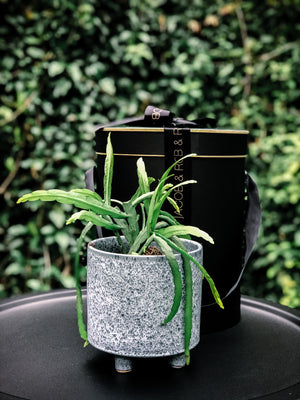 Stand out speckled blue pot with various plant options - Indoor Plant & Gifts Delivery Australia