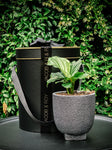 Majestic modern pot with various plant options (Delivery within 20km of Melb CBD only)