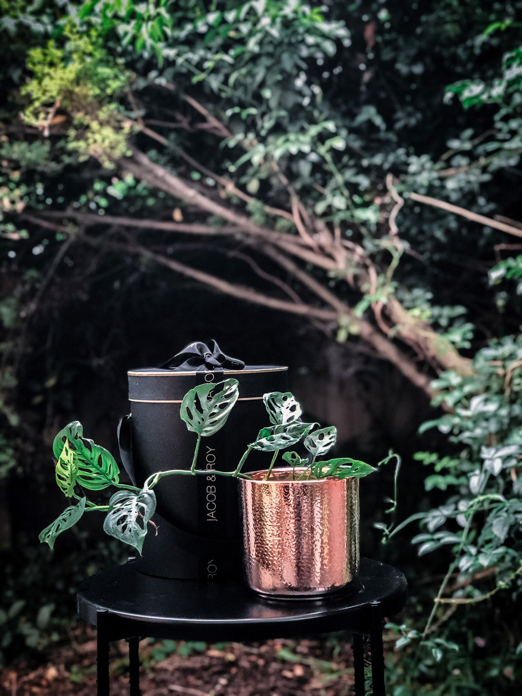 Swiss Cheese Vine in a rose gold pot