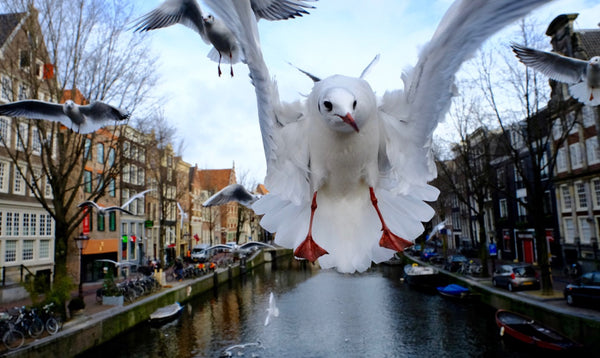 Seagull of Amsterdam 3