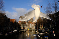 Seagull of Amsterdam 4