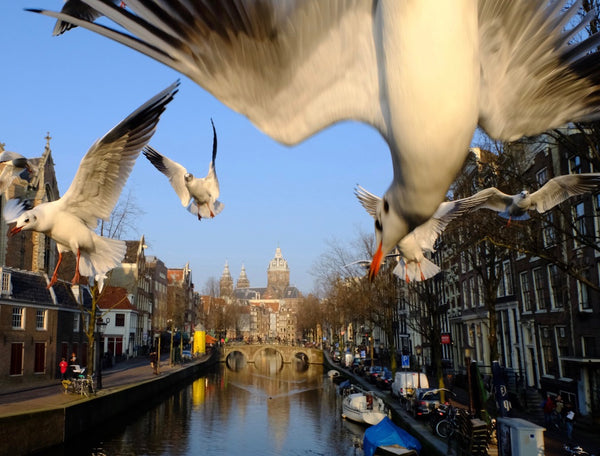 Seagull of Amsterdam 6