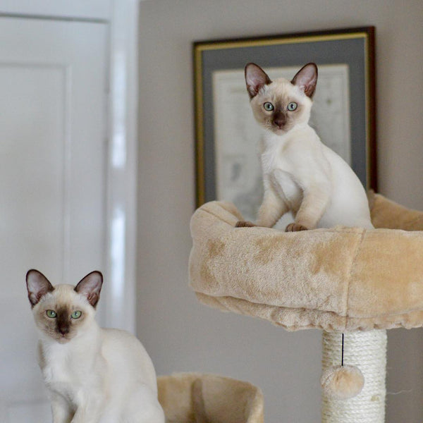 10 Cat Breeds Who Make the Cutest Kittens