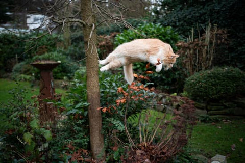How high can a cat jump?
