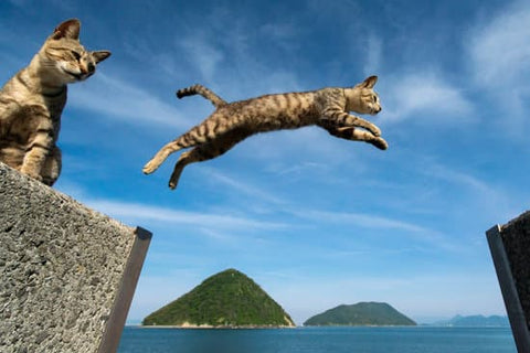 How high can cats jump?