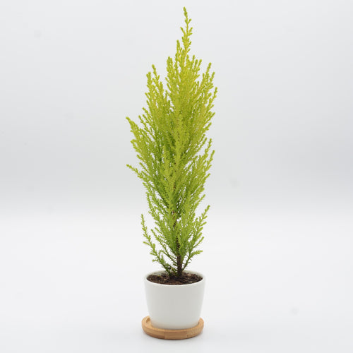 Lemon Cypress (Hesperocyparis macrocarpa 'Goldcrest')