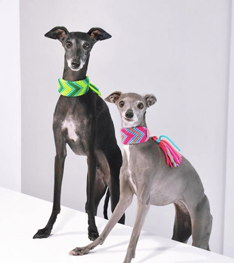 Top Tips for Potty Training Italian Greyhounds