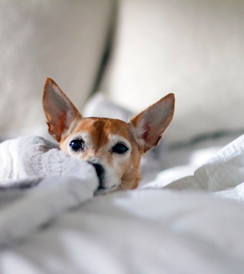 Top Tips for Potty Training Chihuahuas