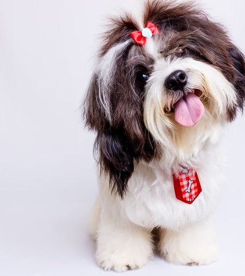 Top Tips for Potty Training Shih Tzus