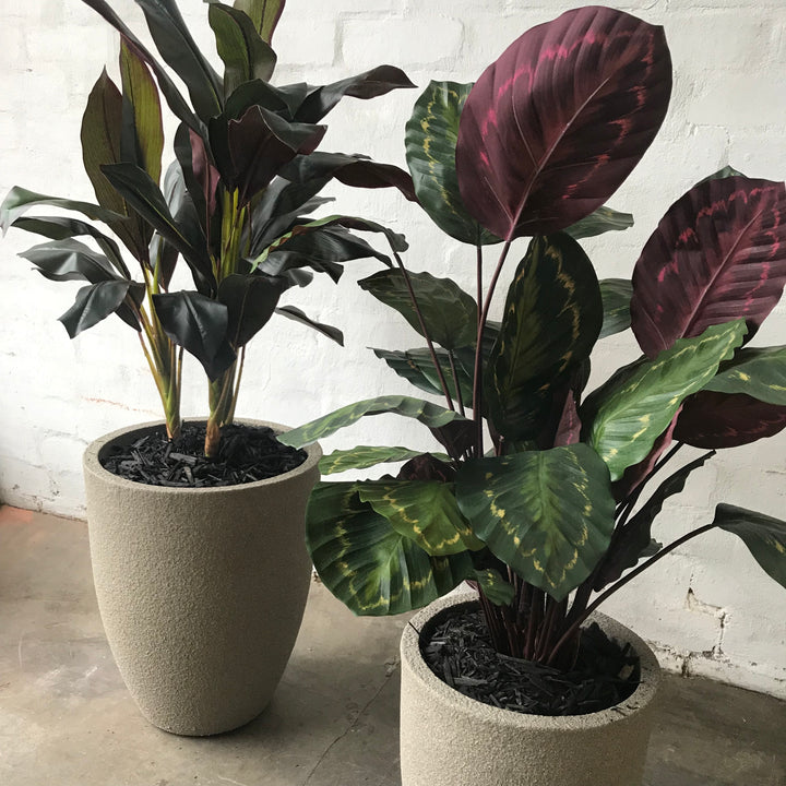 Calathea Pot Plants
