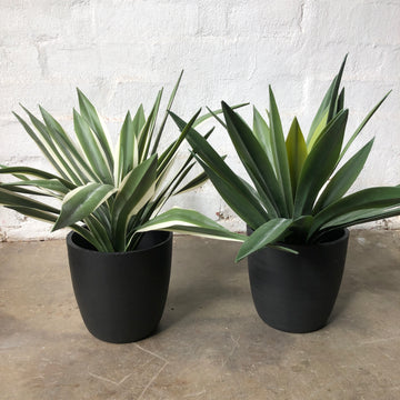 Yuccas in Pot - Real Touch