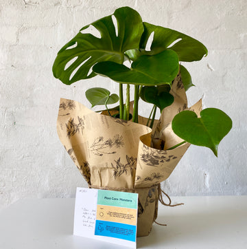 Fresh Plant Delivery - Monstera