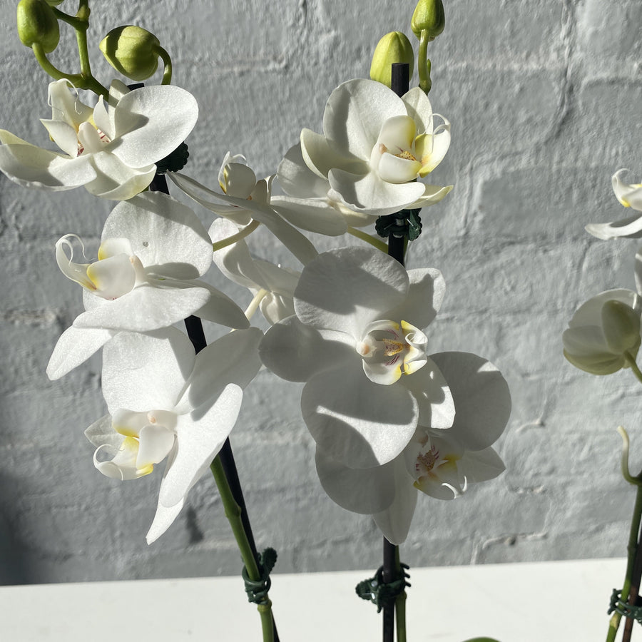 Melb Fresh Orchid Delivery