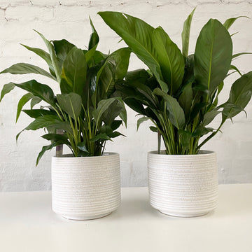Fresh Plant Delivery - Peace Lily