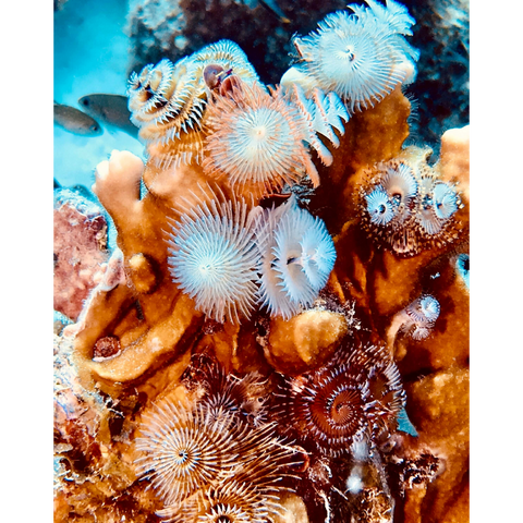 """Fire Coral Christmas Tree Worms"" 10"" x 8"" Plaque"