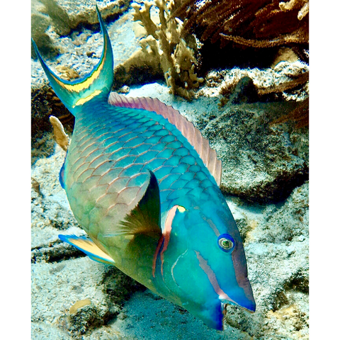 """Stoplight Parrotfish"" 10"" x 8"" Plaque"