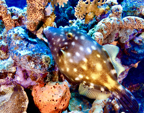 """White Spotted Filefish"" 8"" x 10"" Plaque"