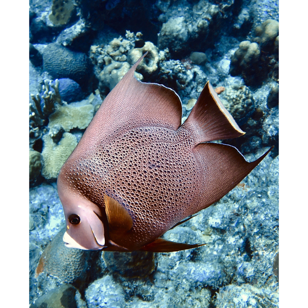 """Gray Angelfish"" 10"" x 8"" Plaque"