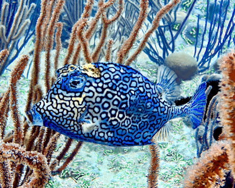 """Honeycomb Cowfish"" 11"" x 14"" Plaque"