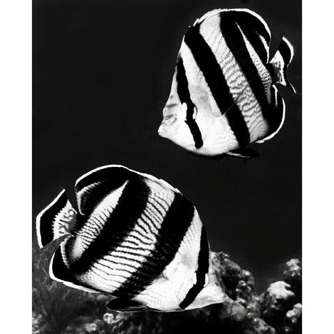 """Banded Butterflyfish B&W"" 10"" x 8"" Plaque"