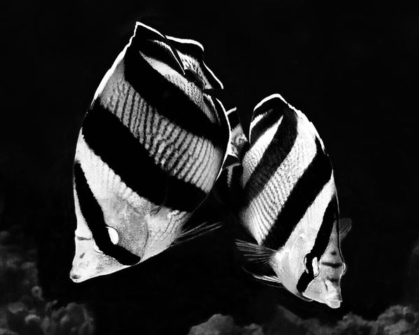"""Banded Butterflyfish B&W2"" 16"" x 20"" Plaque"