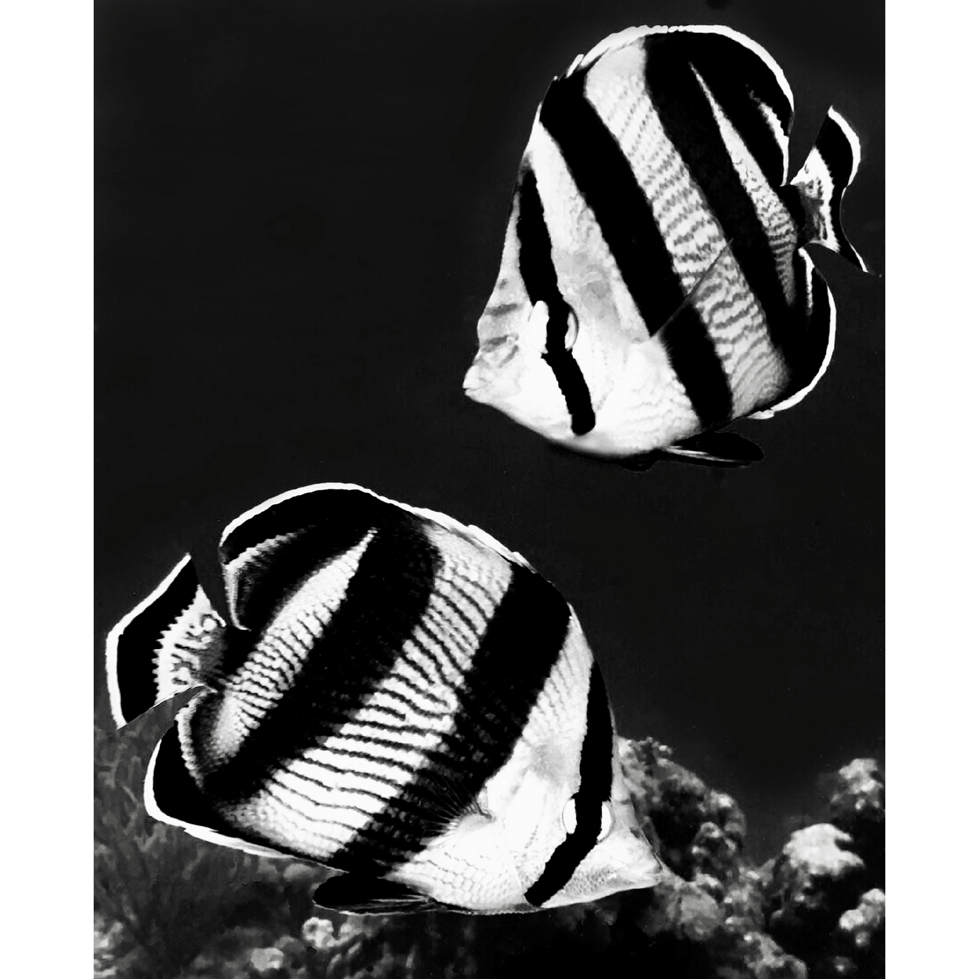 """Banded Butterflyfish B&W"" 14"" x 11"" Plaque"