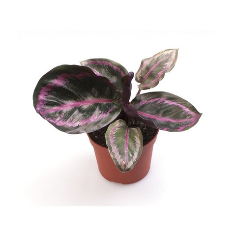 Mini Calathea Rosea Picta