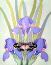 Butterfly & Irises