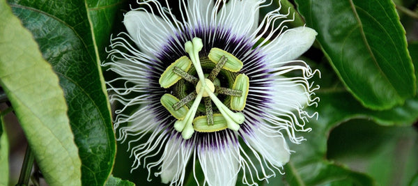 passiflora rimedio naturale