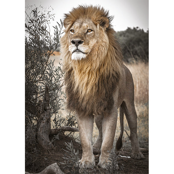 Proud Lion Puzzle 500pc