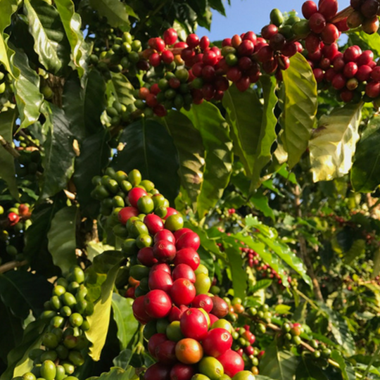 The Life Cycle of a Kona Coffee Tree, part II