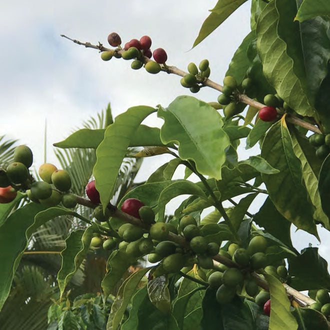 What makes Kona Coffee so Special?