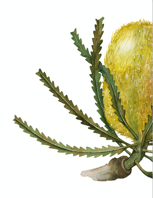 Yellow Banksia Greeting Card