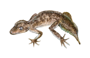 Southern Leaf-Tailed Gecko