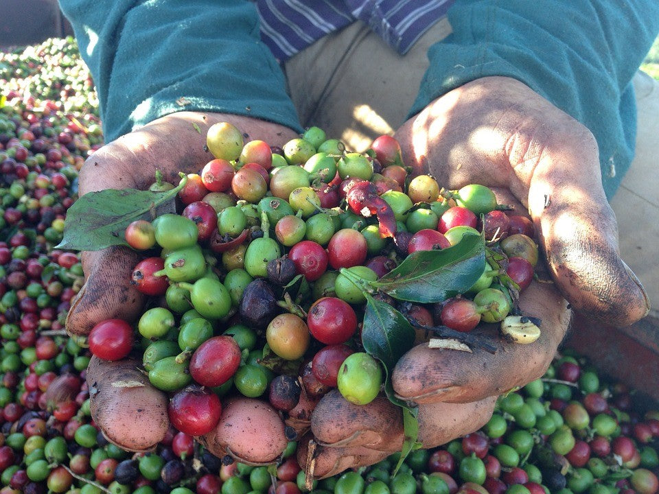 https://pixabay.com/photos/coffee-hand-harvest-ro%C3%A7a-farm-659532/
