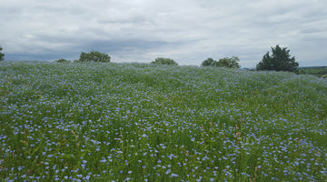 Tradition Restarted: The Process of Growing Flax at Mallon Farm