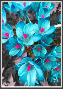 Crocus Blue Flower Art Print in a frame
