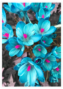 Crocus Blue Flower Art Print not in a frame