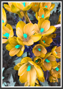 Crocus Yellow Flower Art Print in a frame
