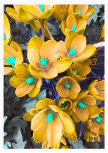 Crocus Yellow Flower Art Print not in a frame