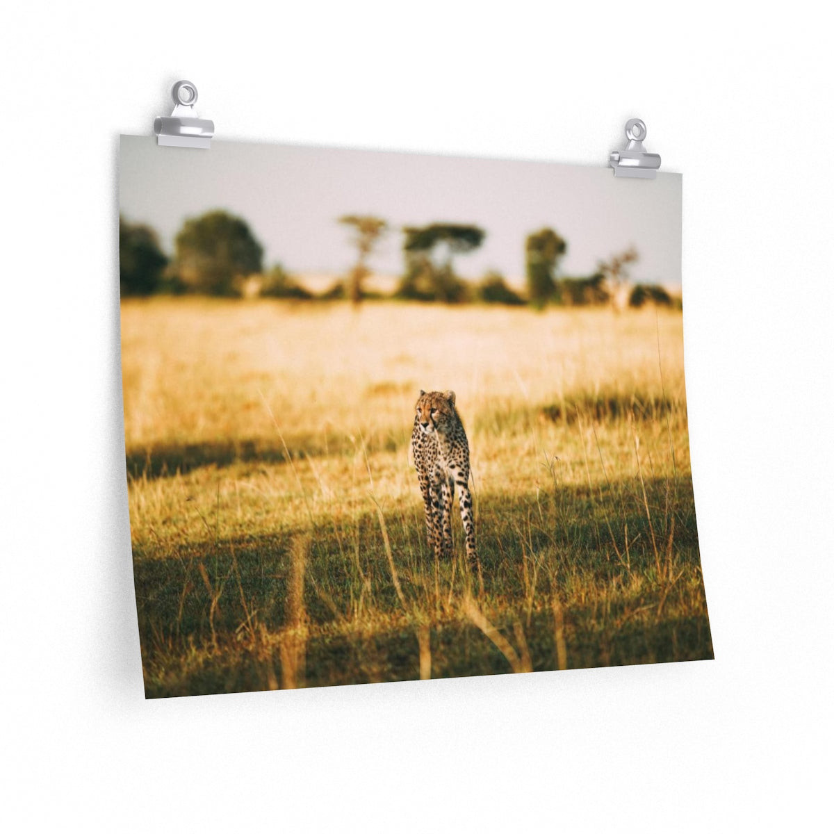 Cheetah on the Prowl - Wide Print