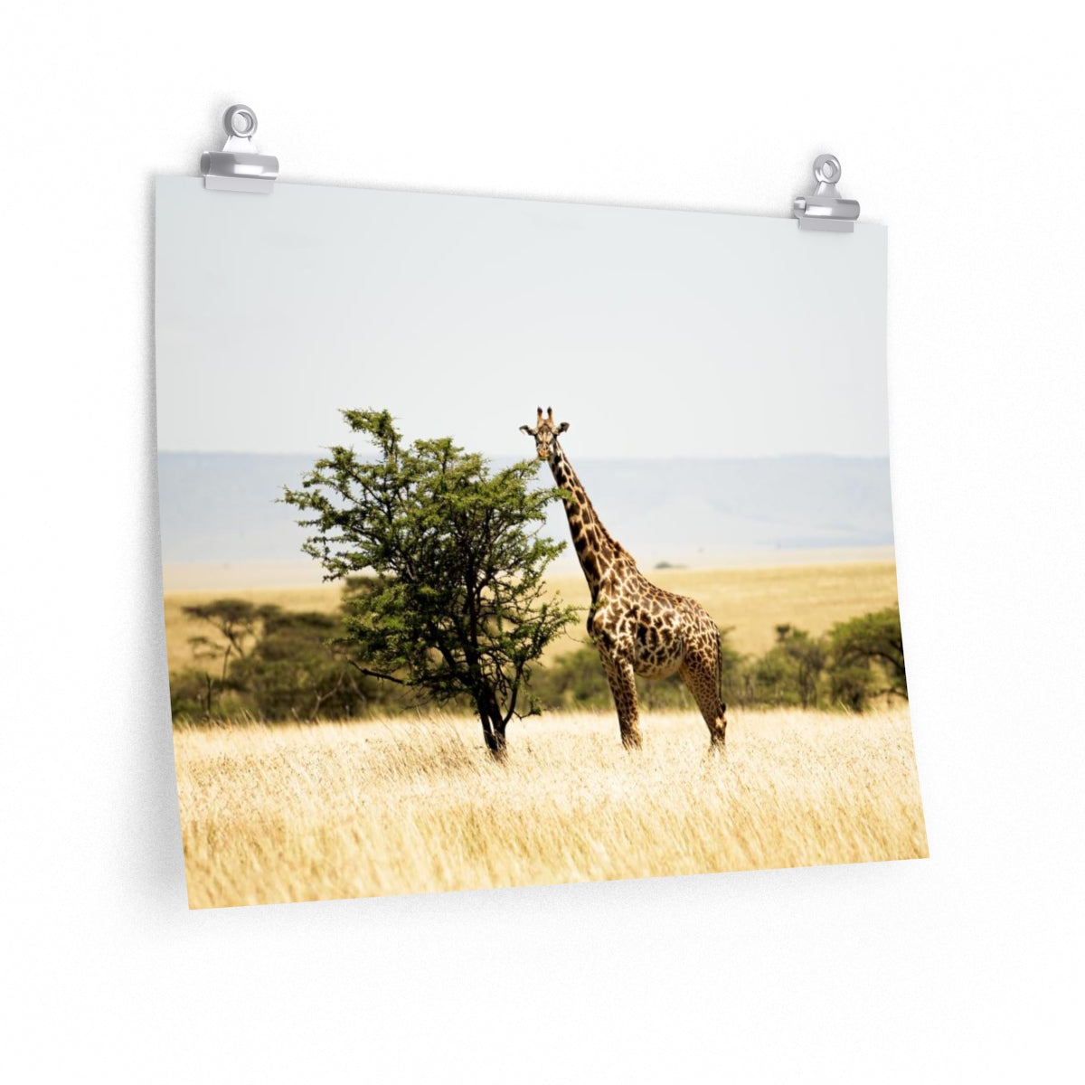 Giraffe in Kenya - Wide Print