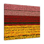 Holland Tulip Field - Canvas