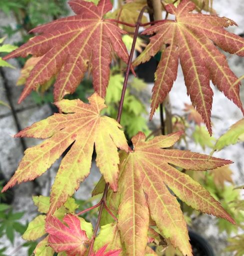 Japanese Maple 'Autumn Moon'