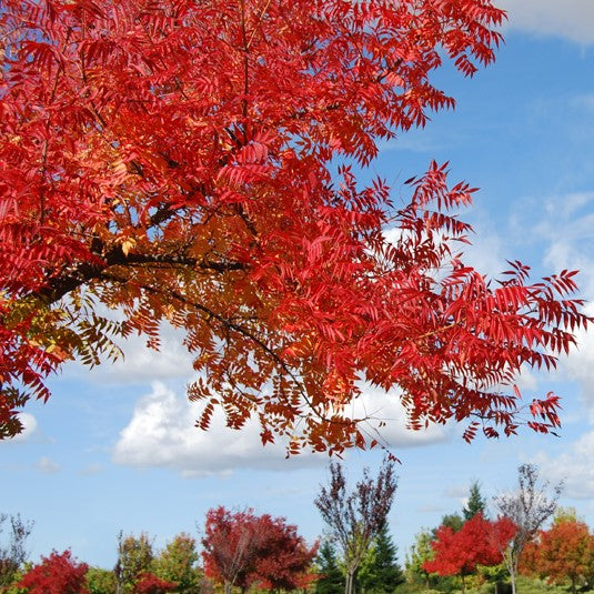Chinese Pistache Tree in Fall Color